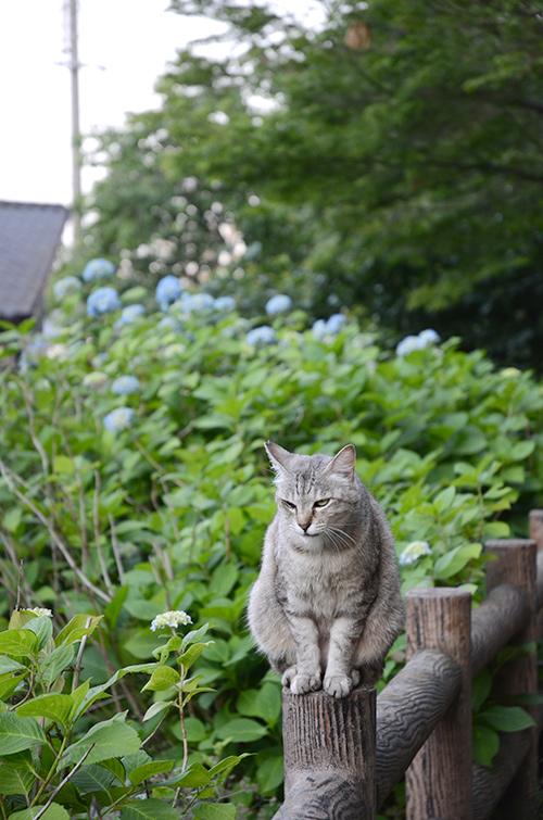 ミコちゃん キジトラ猫 サバトラ猫 紫陽花
