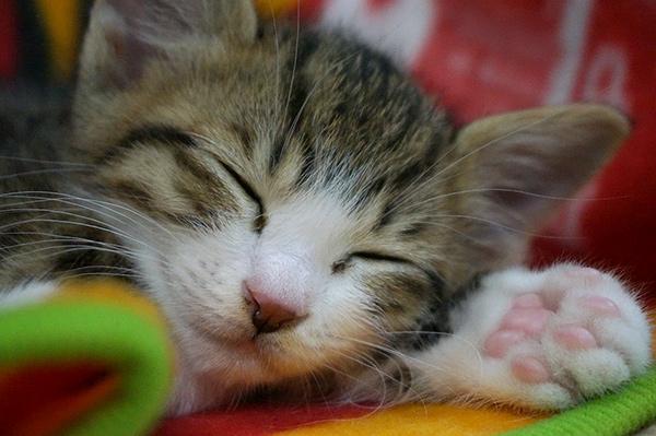 キジ白猫 子猫 寝顔 里親募集