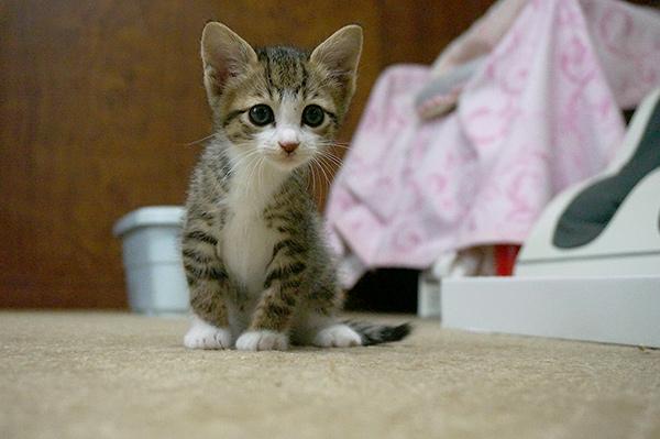 キジ白猫 子猫 里親募集
