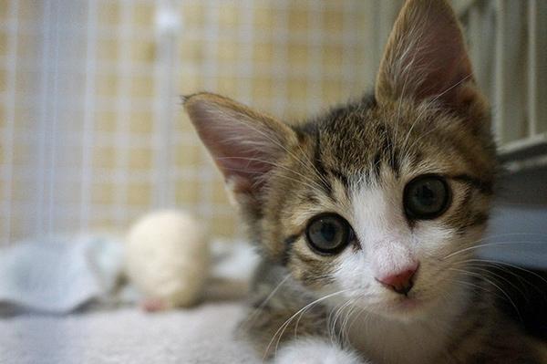 キジ白猫 子猫 リュウ君