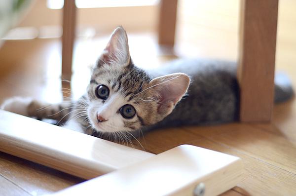 リュウ君 キジ白猫 子猫