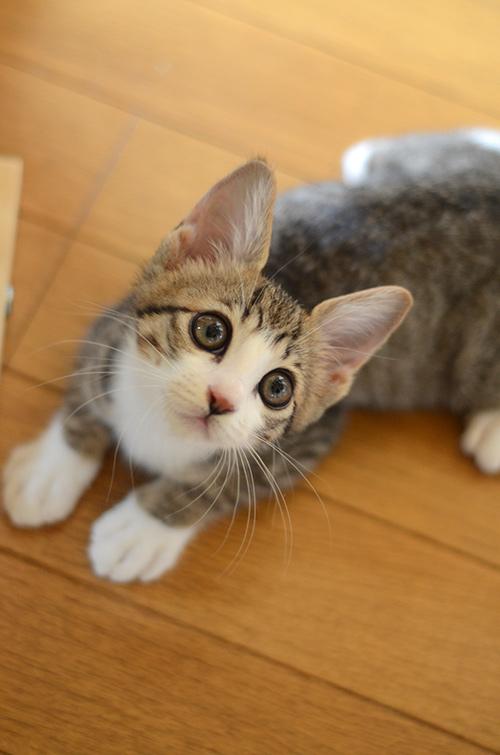 リュウ キジ白猫 子猫
