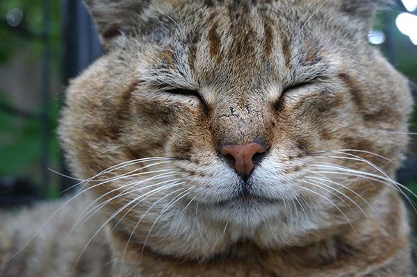 キジトラ猫 ボス猫