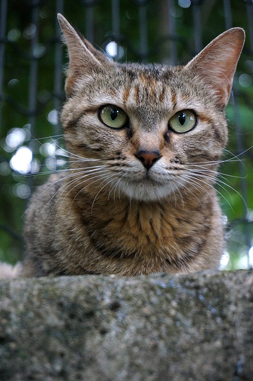 キジトラ猫 麦わら猫