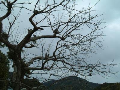 柿の木の写真