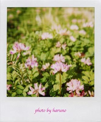 れんげ草の写真