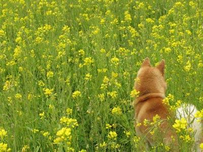 犬と菜の花の写真