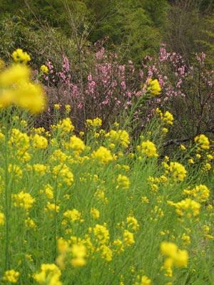 菜の花と木の写真