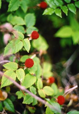 野イチゴの写真