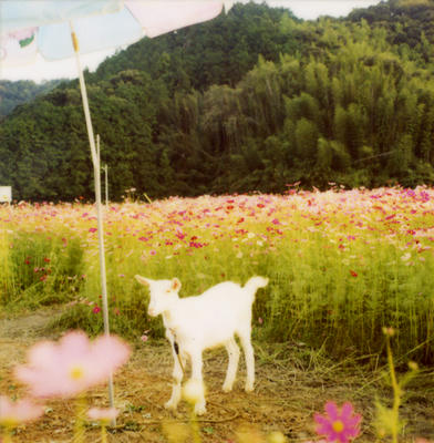 白ヤギの写真