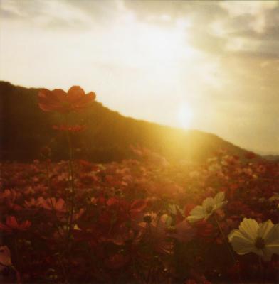 夕焼けコスモスの写真