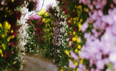 菊のトンネルの写真