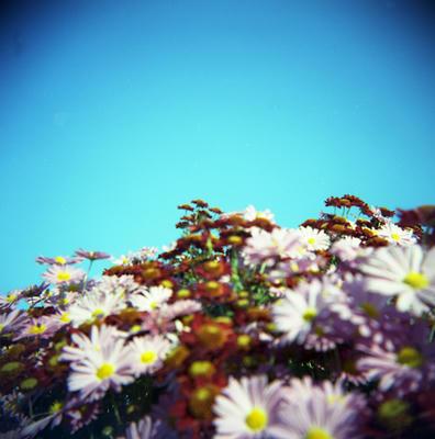 菊の花の写真