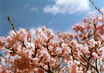 雪割桜の写真
