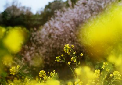 菜の花の写真
