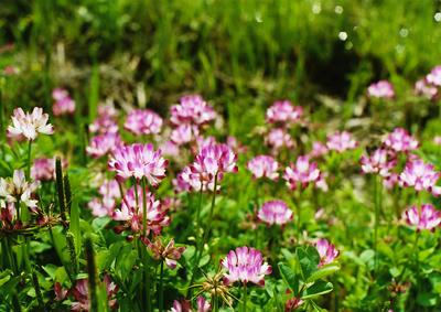 レンゲ草の写真