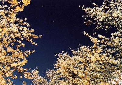 桜の川の写真