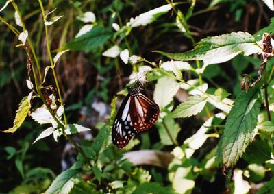 チョウの写真