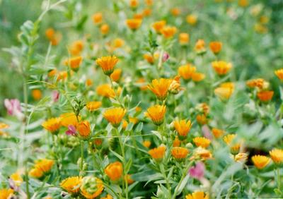 オレンジの花の写真
