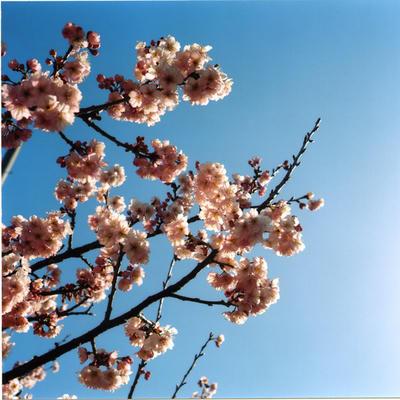 雪割り桜の写真