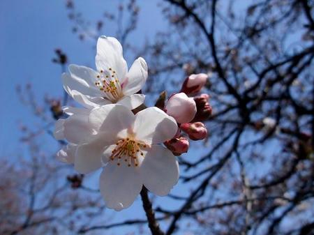 2009_0330sakura0013.JPG