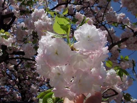 白井宿 八重桜