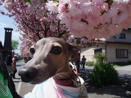 白井宿 八重桜とミネラル