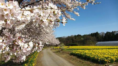 東吾妻町親水公園 桜と水仙
