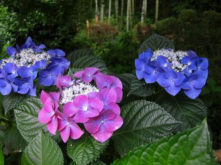 茶寮 いま泉 紫陽花