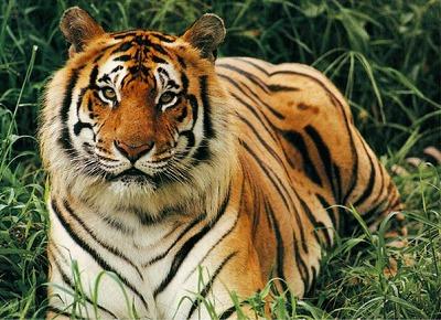 bengal_tiger_4.jpg