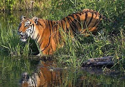 bengal-tiger-431x300.jpg