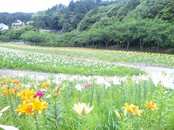 ゆりの花.jpg