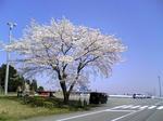 sakura-fsw.jpg