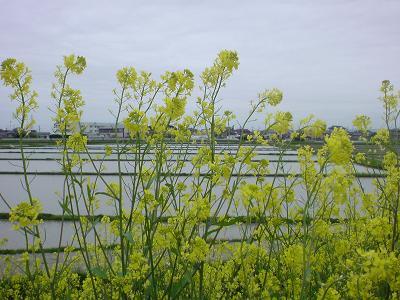 菜の花の向こうの田んぼ