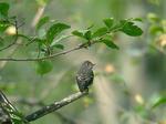 エゾビタキ(若鳥)