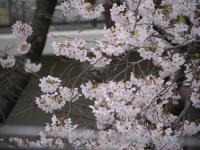 P1010522torisakura.jpg