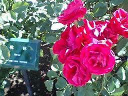 「乾杯」という名のバラ
