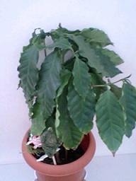 コーヒーの木2