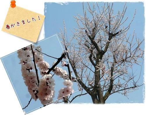 春がきました。
