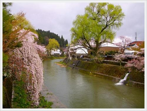 宮川沿いに咲く桜
