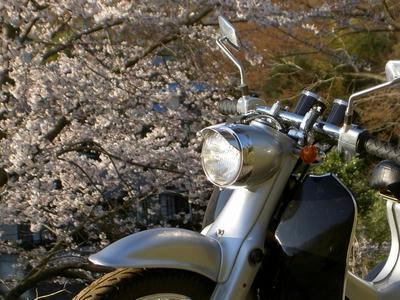カブロウ X 桜