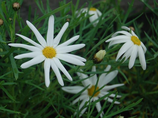 マーガレット (植物)の画像 p1_28