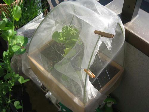 リーフレタス栽培