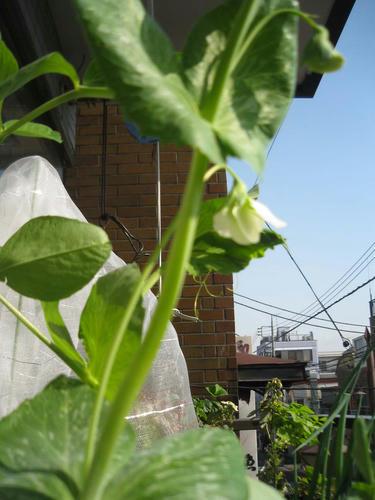 スナップエンドウ栽培