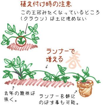 イチゴ育て方