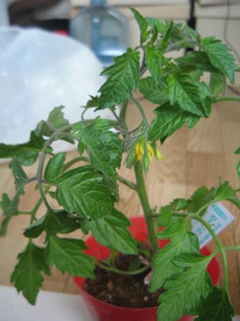 ミニトマトアイコ栽培
