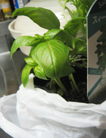 バジル栽培
