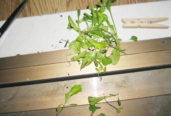 レタスミックス栽培