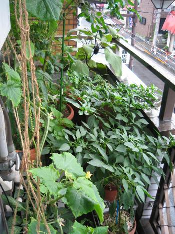 節約ベランダ菜園