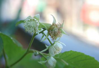 ラズベリー栽培